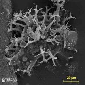 Dynoflagelata