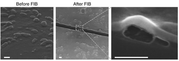 SEM images showing iDR-NCs before and after FIB. FIB exposed the interior hollow structures of NCs. Scale bar: 500 nm.