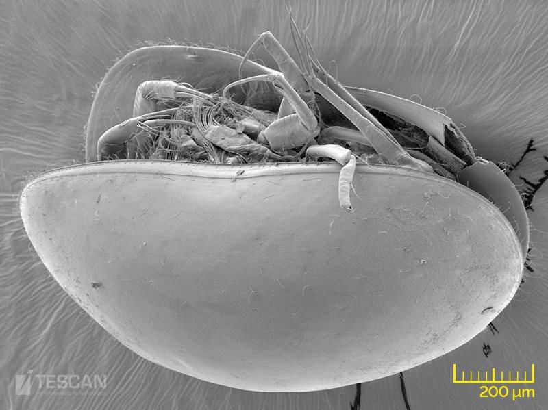Seed shrimp