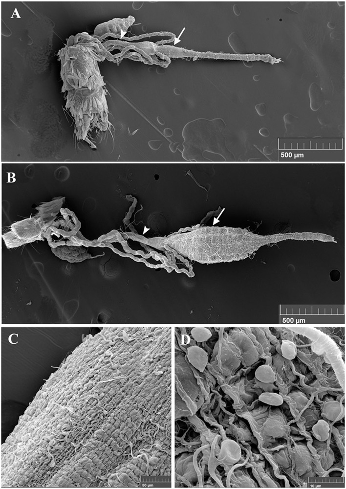 Scanning Electron Microscopy (SEM) images of A. albopictus mosquito guts.