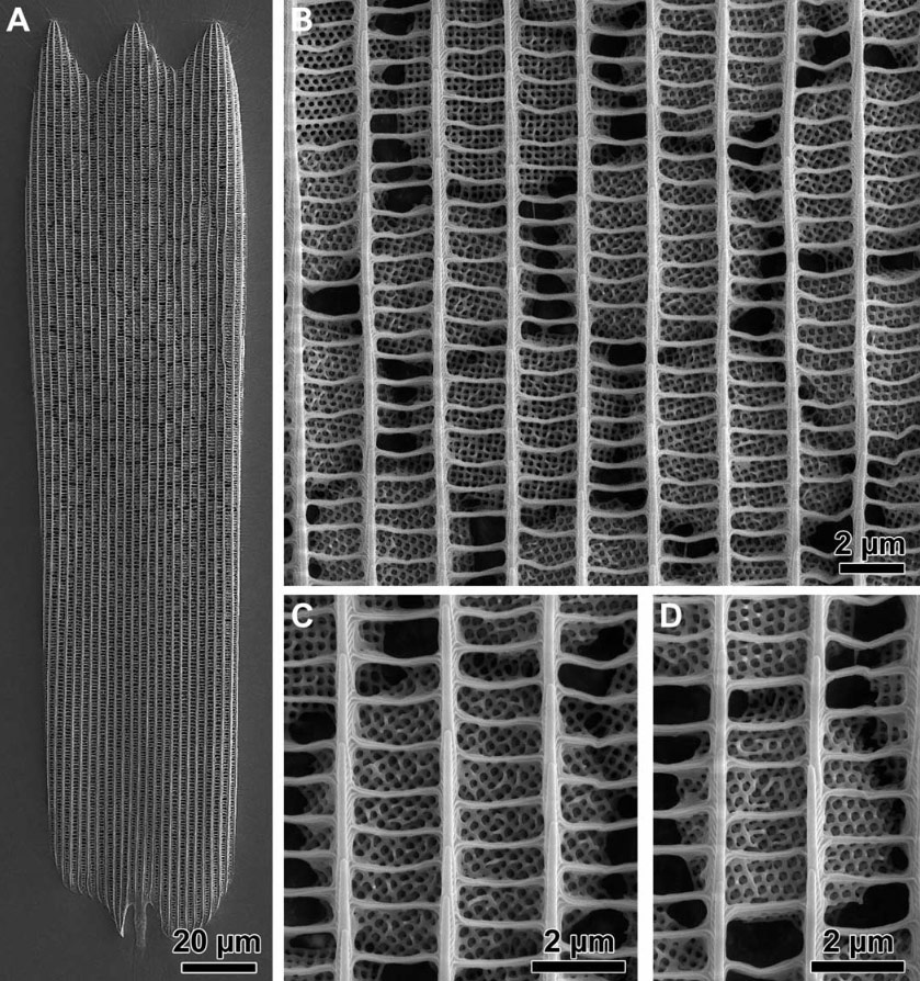 Ultrastructure of the wing scales. (A) A single wing scale of the green ventral wing area of T. opisena.(B to D) Different high-magnification images of different crystallites. Each crystallite is a single gyroid network.